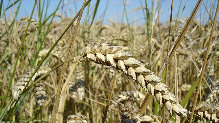 Food groups' fight over wheat manipulation re-erupts
