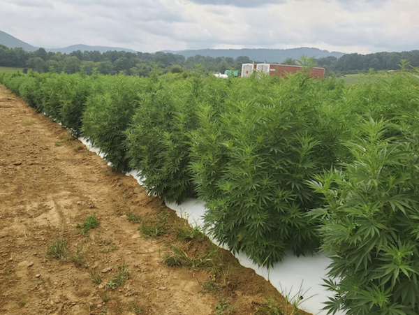 Hemp Prices Pause as Harvest Continues